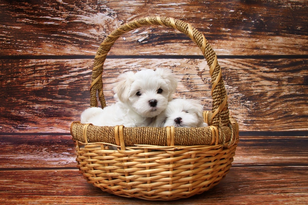 Cute Yorkie Puppies in a Basket